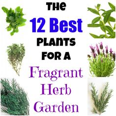 The Top Plants to Grow for a Fragrant Herb Garden. bergamot, lavender, lemon verbena, rosemary, scented geraniums, southern wood, lovage, velerian, lemon balm, sweet cicely, thyme and costmary.