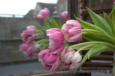 Tulpen 2!