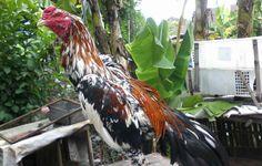 Ayam Bangkok Blorok Madu Ciri Khas Serta Pukulannya Mematikan