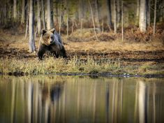 Bear, Finland - National Geographic Photo of the Day