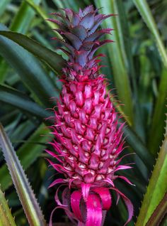 Pink Pineapples Are Real — & Sweeter, Too+#refinery29