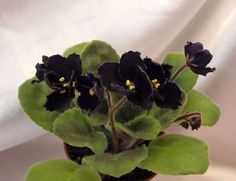 HEIRLOOM Black Cherry African Violet Double | Mac's Black Pearl