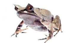 """Mi artículo en Xombit: Las """"extrañas"""" criaturas en el Monte Kinabalu"""