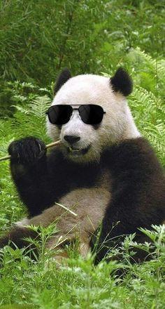 Cool panda!