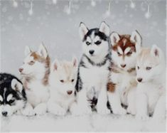 Popular    Siberian Husky Pictures for Dog Lovers #dogs #JustDogs,Yipee! #siberianhusky