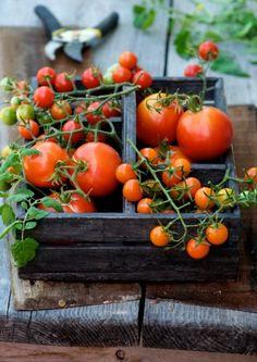 tomates, tomates, tomates..!