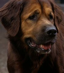 A Saint Bernard/Golden Retriever mix! I love this dog! This is Barney, well known for his roles in the movies Homeward Bound and Fluke.