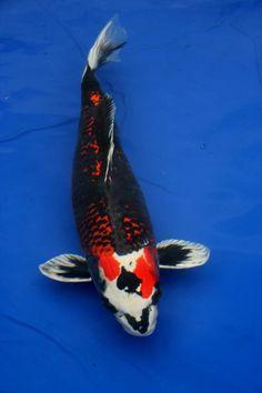 Showa sanshoku pattern for a koi tattoo tatted and for Carpe koi rare