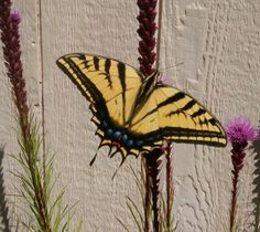 Tiger swallowtail butterfly 6-25-16