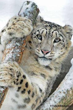 Snow Leopard peekin' out.
