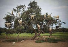 Puu-ronimis-kitsed söödavad Argania spinosa, tuntud kui Argan puu, Essaouiras.  Puuvilja söömisel ja seemnete väljavalimisel aitavad kitsed paljundada rohkem arganipuid õli jaoks.