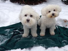 Bichon Frise Greatest dogs!!