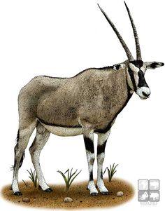 Gemsbok (Oryx gazella) Line Art and Full Color Illustrations