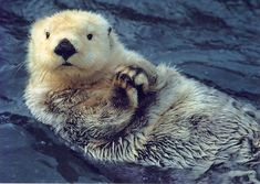 Sea Otter Wallpaper Design Ideas ~ Hd Adorable Sea Otters ...