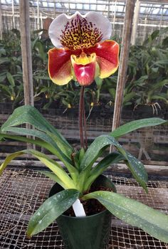 Paphiopedilum Winston Churchill 'Indomitable' (Eridge x Hampden) Orchids, Plants, Rare Flowers, Beautiful Flowers, Flower Garden, Amazing Flowers, Strange Flowers, Beautiful Orchids, Paphiopedilum