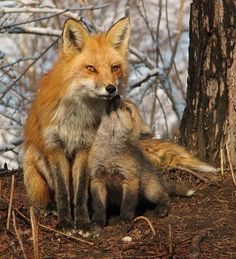 mother fox getting kisses from pup