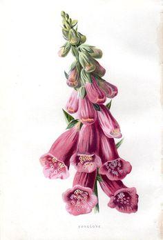 images of frederick edward hulme was born in hanley staffordshire england wallpaper Vintage Botanical Prints, Antique Prints, Botanical Art, Illustration Blume, Plant Painting, Plant Pictures, Victorian Art, Floral Illustrations, Vintage Flowers