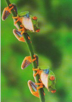 frog mates