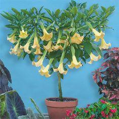 Angel's Trumpet 'Inca Sun' (Brugmansia hybrid) - Patio, Sunroom and Garden - Garden