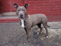 SAFE --- URGENT - Brooklyn Center    DELILAH - A0993123   FEMALE, LIVER TICK / WHITE, PIT BULL MIX, 10 mos  STRAY - ONHOLDHERE, HOLD FOR ID Reason STRAY   Intake condition NONE Intake Date 03/05/2014, From NY 11231, DueOut Date   https://www.facebook.com/photo.php?fbid=768446543168227&set=a.768446529834895.1073743028.152876678058553&type=3&theater
