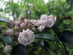Mountain Laurel and Rhododendrons were planted in the by the Civil Conservation Corps as an attempt to reforest the mountains after they had been clear cut for their hardwoods. May Flowers, Wild Flowers, Laurel Mountain, Spring Wildflowers, Blue Ridge Parkway, Blooming Plants, April Showers, Conservation, Georgia