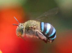 Blue-banded Bee (Amegilla cingulata), native to Australia and Papua New Guinea, bee that prefers to live solitary instead of in communal hives.