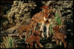 Native to the country's highlands, the Ethiopian wolf (Canis simensis), which is technically a jackal, is the world's most endangered canid. Only six fragmented populations remain, the largest of which consists of about 300 individuals.
