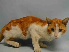MARMALADE - A1089202 - - Manhattan  ***TO BE DESTROYED 09/16/16*** POLYDACTYL SWEETHEART MARMALADE NEEDS A RESCUE ANGEL TO HELP HIM HAVE A HAPPY ENDING TO HIS STORY! MARMALADE was brought into the shelter as a stray. He is skinny and needs some fattening up. MARMALADE is AVERAGE rated and was soliciting attention and petting. This friendly cat probably thought he was at a cat hotel after living on the mean streets but now the shelter wants to kill him just because they don&