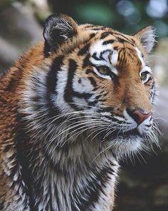 F*ck Yeah, Wild Animals! Nature Animals, Animals And Pets, Cute Animals, Wild Animals, Big Cats, Cool Cats, Beautiful Cats, Animals Beautiful, Panthera Tigris Altaica