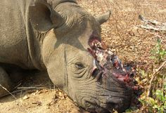 "Tell online auction sites like Ebay to stop listing ""horn"" items made from rhino and any animal:. Stop selling ""horn"" items, even ""antique"" ..."
