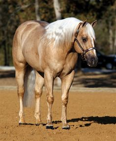 SHARP DRESSED SHINER Andalusian Horse, Friesian Horse, Arabian Horses, American Quarter Horse, Quarter Horses, Palomino, All The Pretty Horses, Beautiful Horses, Reining Horses