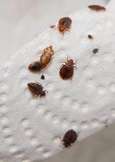 What Causes Bed Bugs?