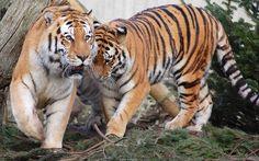 tiger pair animal wallpapers for deskop