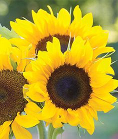 New Annual Flowers - Available in both seeds and plants from the most trusted name in home gardening, Burpee. Find your favorite flower seeds and plants today. Tuberous Begonia, Types Of Sunflowers, Sunflower Pictures, Sunflower Colors, Small Sunflower, Plant Breeding, Cut Flower Garden, Annual Flowers, Gardens