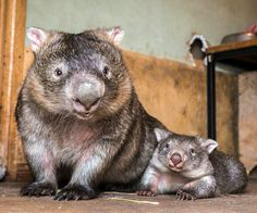 Mommy and Baby Wombat (Vombatidae) Animals And Pets, Baby Animals, Funny Animals, Cute Animals, Amor Animal, Mundo Animal, Beautiful Creatures, Animals Beautiful, Baby Wombat