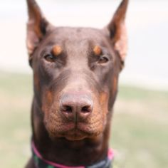Red Doberman Pinscher... what a beautifully intense face!