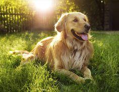 Doe de online puppytest en kom erachter welk hondenras bij jou past! Lees meer over hondenrassen zoals de Golden Retriever op puppytest.nl