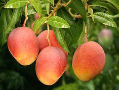 Como plantar e como tratar algumas doenças que atingem a mangueira ...