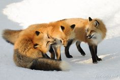 Red Foxes | fox-info.net - foxinfonet - fox_info_net