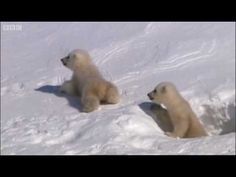 Amazing images taken from the Arctic circle as a mother bear emerges from her winter long sleep with two new arrivals. With brilliant images of mother polar bear sledging down the slopes and cute cubs first taste of the Arctic air, this is a video you don't want to miss from BBC natural history masterpiece 'Planet Earth'.