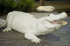 Out of 5 millions alligators there are only 12 leucistic alligators in the world! 4 are held at Gatorland in Orlando. These are not to be confused with albino alligators, as you can see their eyes are blue, not red.