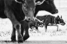 Australian Kelpie cattle dogs at work...