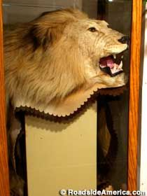 Skin of Leo the Lion (MGM Lion)-McPherson KS Museum
