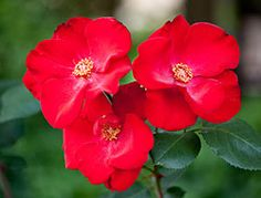 Whether you're making your first excursion into #rose growing or have a yard full of roses, you won't go wrong trying one of these landscape roses.