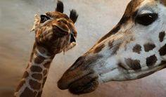 Als je pas elf dagen oud bent, heb je natuurlijk nog geen idee wat een leven in de dierentuin precies inhoudt. Moeder giraffe legt het baby Apolena vast uit. 'Poseren Apolena. Gewoon poseren!'