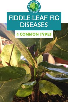 Like all organisms, fiddle leaf figs can get sick! Despite your careful and consistent care routine, you might run into one or more of these common fiddle leaf fig diseases and conditions at some point. It's important to recognize them and know how to treat them! Some of these diseases are more common than others, so we'll start with the most common first and work our way down to the least common. Fiddle Leaf Fig Tree, Tree Care, Figs, Plant Care, How To Find Out, Routine, Plant Leaves, Plants, Plant