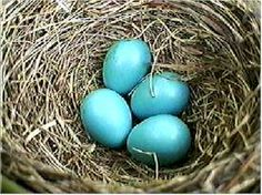 Fact: Robins usually lay four eggs and then stop. Like most birds, they lay one egg a day until their clutch is complete. If you remove one egg each day, some kinds of birds will keep laying for a long time, as if they can stop laying only when the clutch of eggs feels right underneath them.
