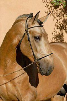 Buckskin Lusitano stallion, Qing de Massa. Pretty Horses, Beautiful Horses, Andalusian Horse, Buckskin Horses, Lippizaner, Campolina, Pur Sang, Akhal Teke, Baby Horses