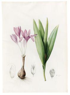 PIERRE-JOSEPH REDOUTÉ SAINT-HUBERT 1759 - 1840 PARIS COLCHICUM AUTUMNALE (MEADOW SAFFRON OR AUTUMN CROCUS) Watercolor with touches of gouache over black chalk on vellum; signed, in brown ink, lower left:  P.J. Redouté. 474 by 340 mm; 18 5/8 by 13 3/8 in