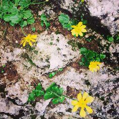 Bloemetjes op de rotsen bij de meren van Ardales #geel